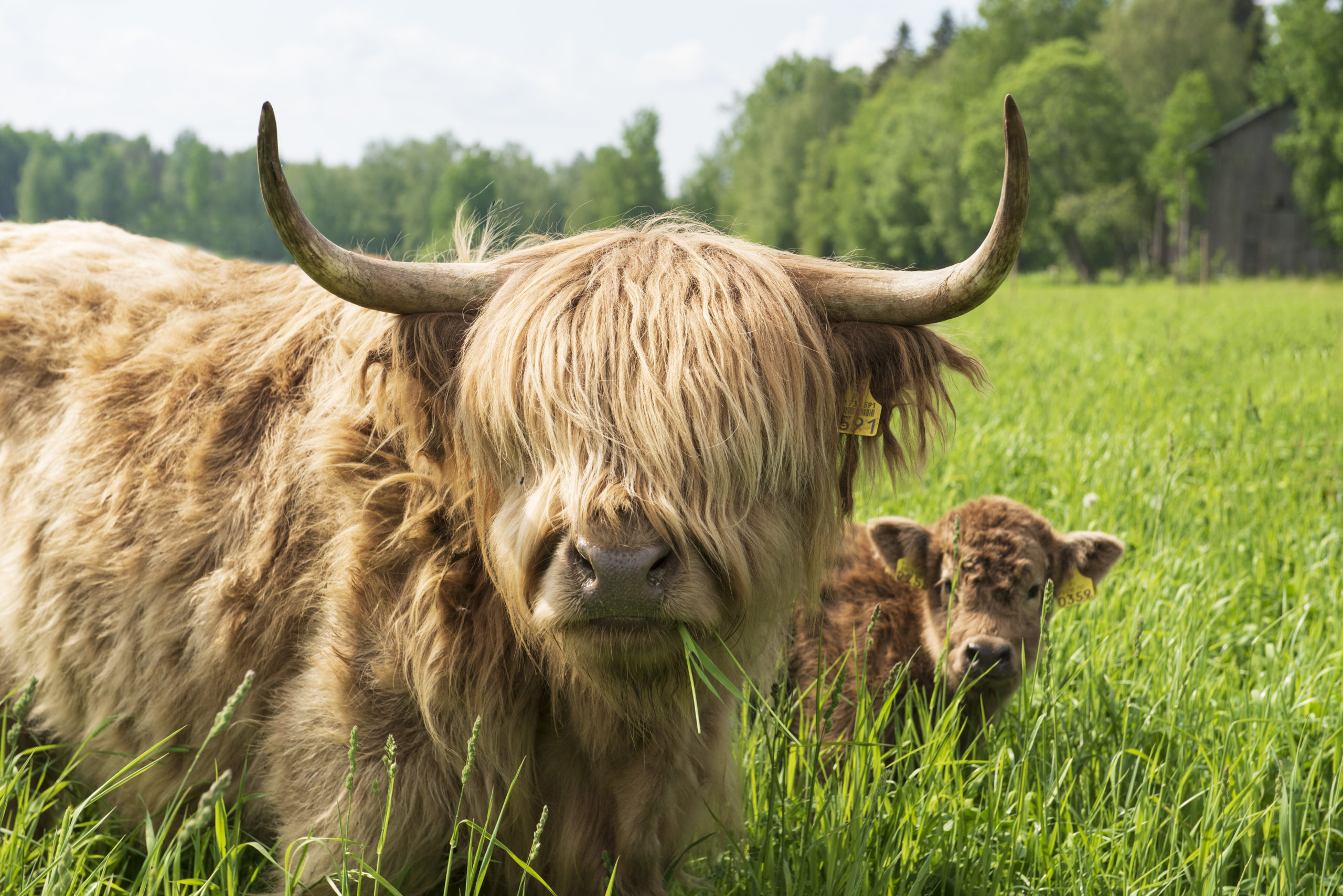 ylämaankarja lehmä ja vasikka pellolla