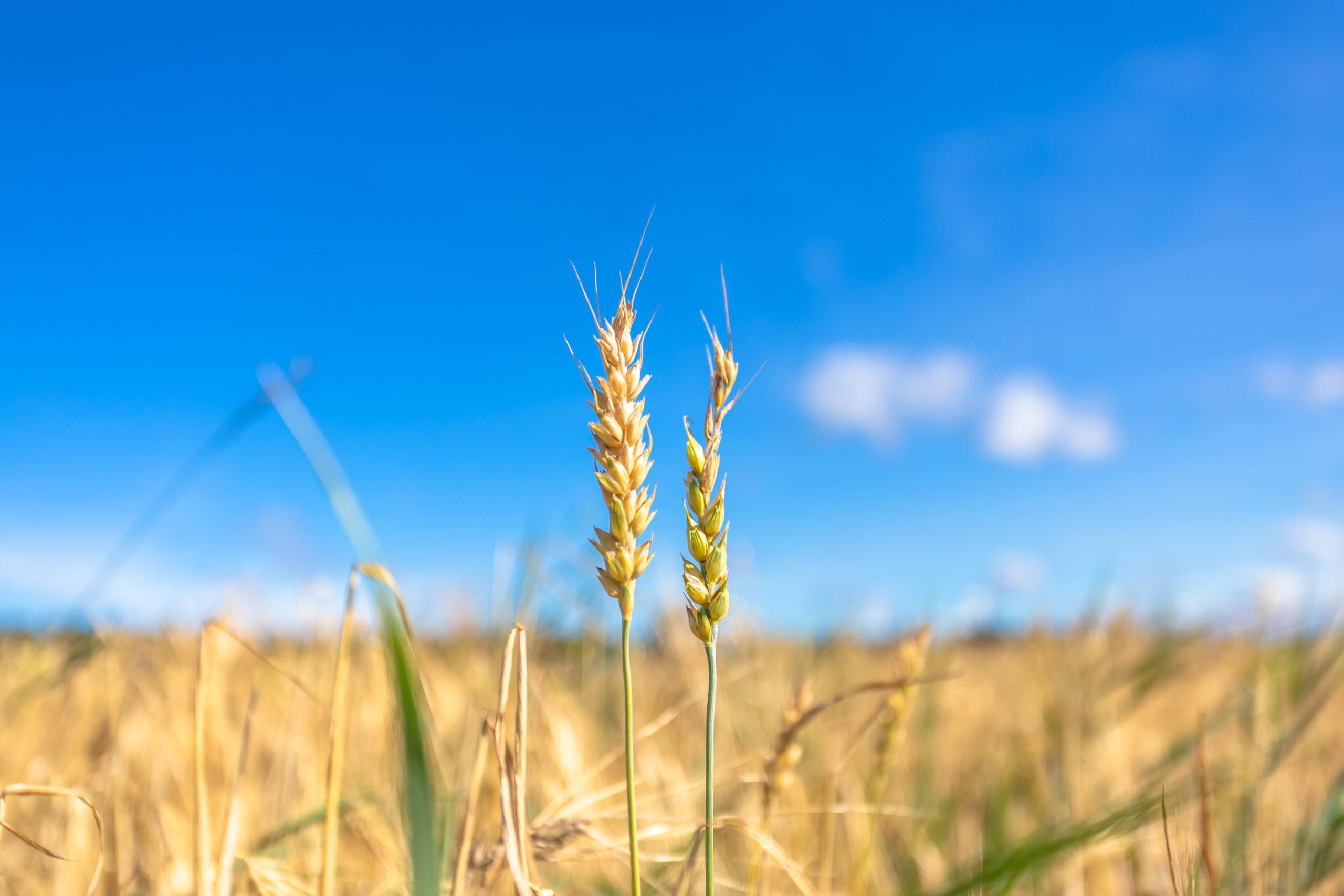vehnänkorret pellossa