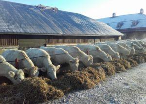 valkoisia lehmiä rivissä syömässä