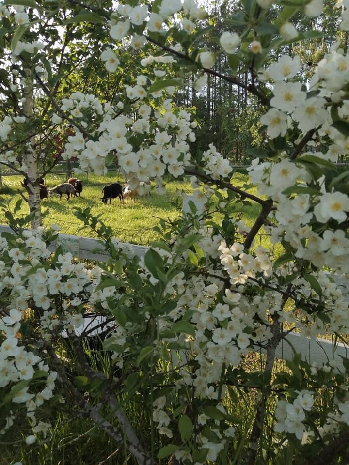 kukkia etualalla, lampaita laiduntamassa