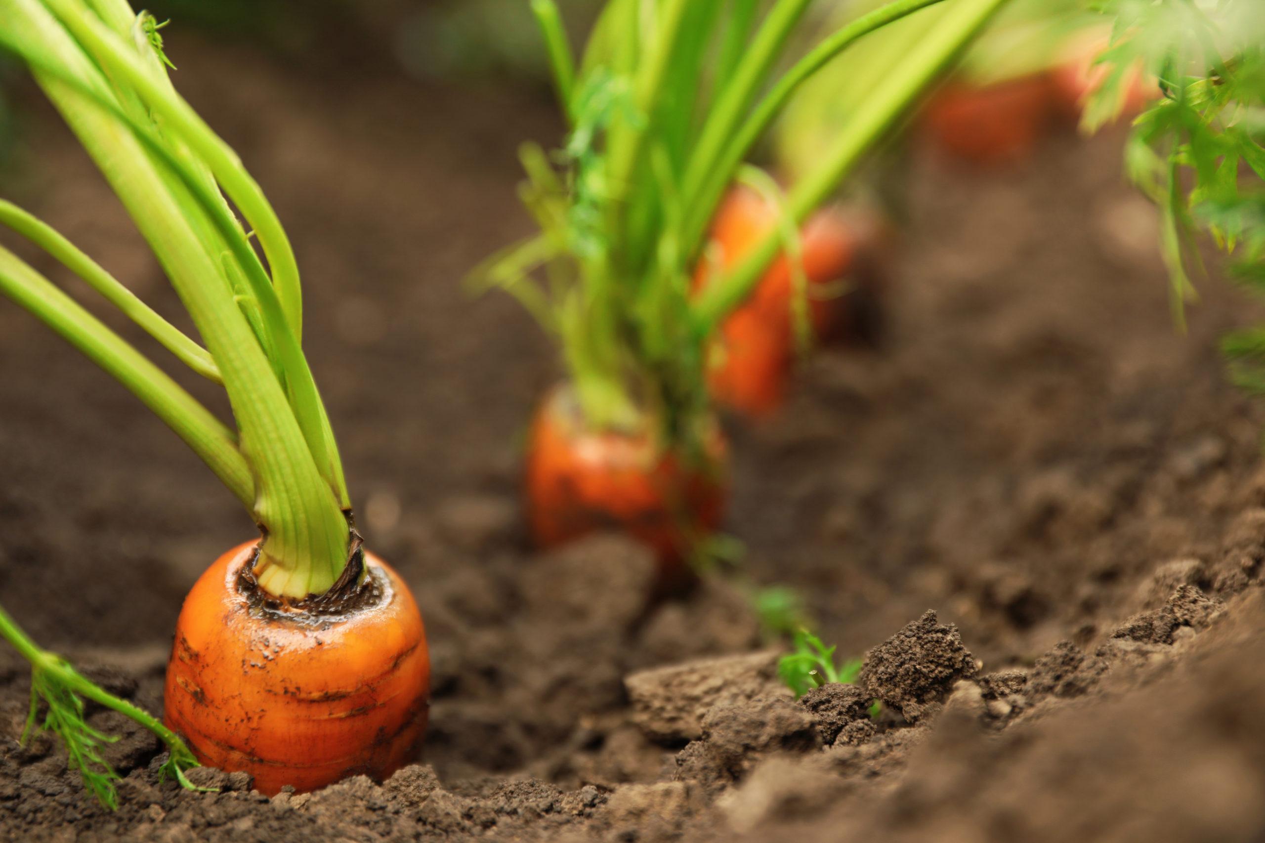 porkkanoita pilkistää multamaasta
