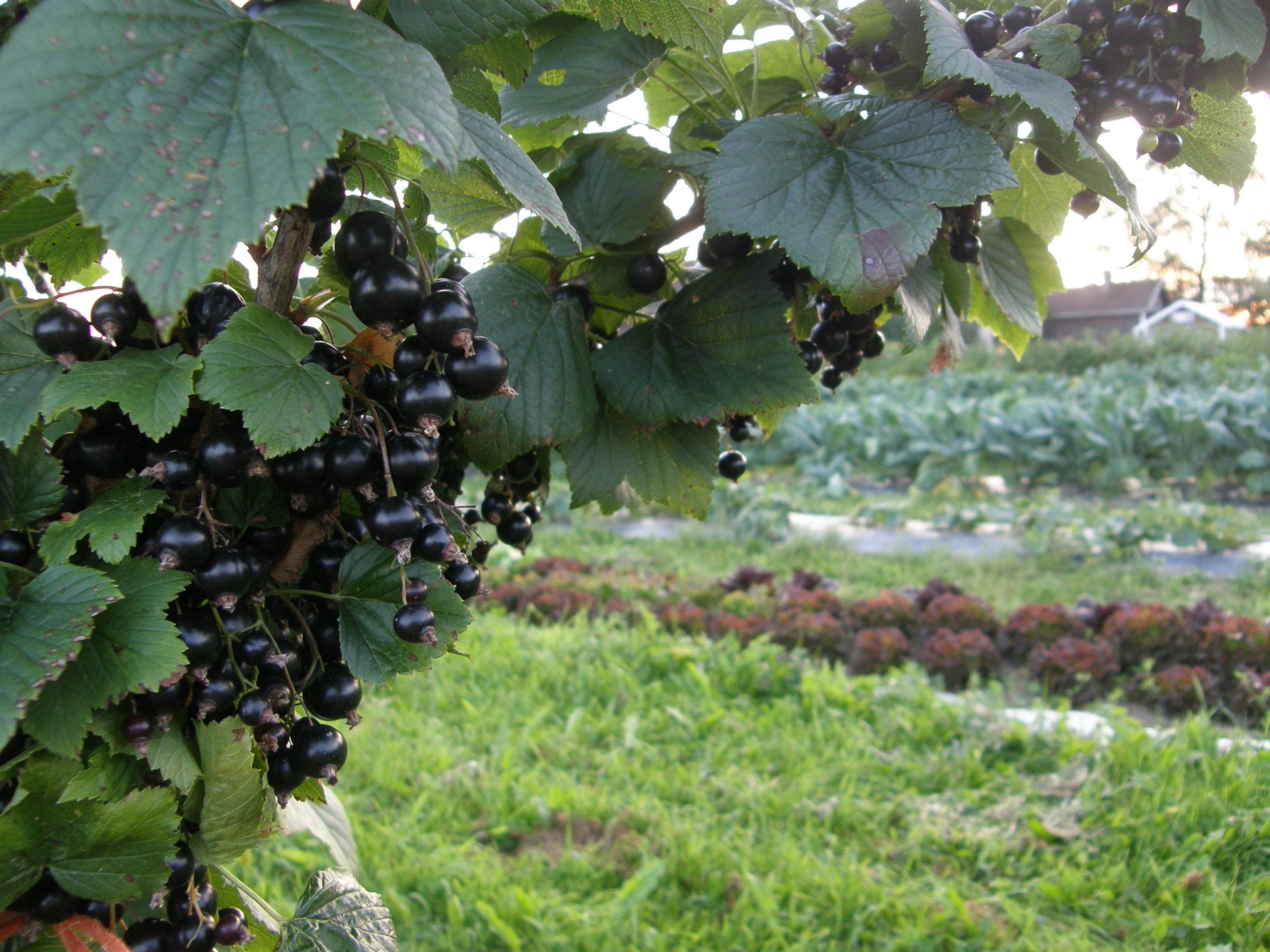 mustaherukka etualalla, taustalla puutarha