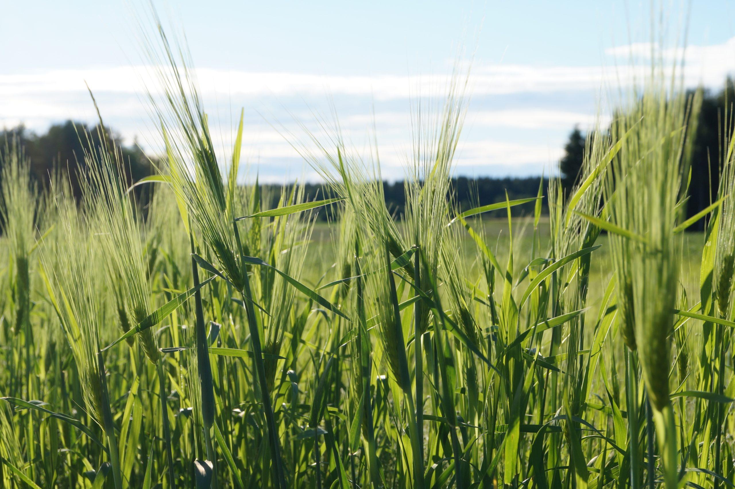 Ohraa lähikuvassa pellolla