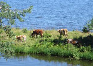 lehmät laiduntamassa saaressa
