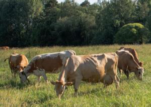 lehmät aurinkoisella laitumella